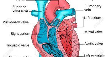 Adaptations cardiovasculaires induites par l'entraînement, endurance et musculation mêmes effets ?